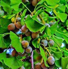 Ginkgo fruits