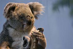 Bored sad grumpy koala photography