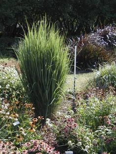 Ornamental grasses add ease grace and beauty grasses texas and ornamental grasses add ease grace and beauty grasses texas and gardens workwithnaturefo