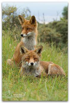 Fox pair resting  #Vulpes_vulpes