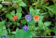 Blue and scarlet pimpernel flowers