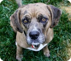 11/4/16 Beagle/Catahoula Leopard Dog Mix Dog for adoption in Los Angeles, California - Wesley