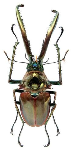 Chiasognathus grantii is a species of stag beetle found in Argentina and Chile.  It is known as Darwin's beetle, Grant's stag beetle, or the Chilean stag beetle.