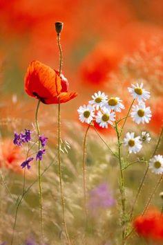 Poppy, Camomile and Larkspur- Love orange