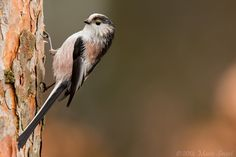 Photograph Long-tailed tit by Mario Severi on 500px