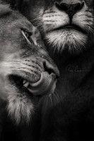 Bildresultat för lion black and white Wildlife Photography, Animal Photography, Photography Gallery, Photography Ideas, Outdoor Photography, Beautiful Cats, Animals Beautiful, Animals And Pets, Cute Animals