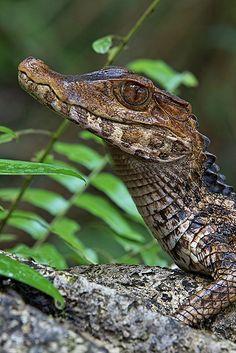 Dwarf Caiman, Paleosuchus palpebrosus a.k.a.  Cuvier's Smooth-fronted Caiman, Paleosuchus palpebrosus (Crocodylia - Alligatoridae) - South America,  found near rivers and savannahs