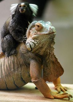 These unlikely pals hang out at a Straubing, Germany, zoo. Sure, these two have their differences. For starters, one is a monkey and the other is an iguana.