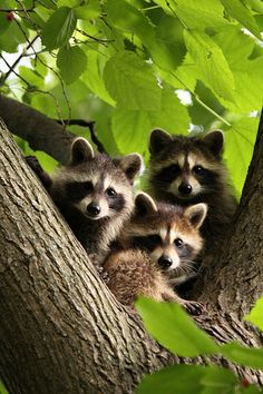 Bandit Family This reminds me of the days I worked at Binders Park Zoo. Cute Baby Animals, Animals And Pets, Funny Animals, Strange Animals, Beautiful Creatures, Animals Beautiful, Cute Raccoon, Raccoon Family, Racoon