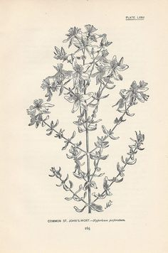 Coriander Vintage Botanical Floral Illustration Art Poster 24x36