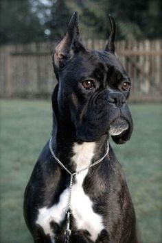 Sleek & Handsome (Reverse Brindle Boxer)