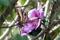 Attract Wildife with Rose of Sharon. birdsandblooms.com