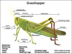Label the grasshopper From www.daniellesplace.com