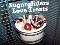 Pet sugargliders love different foods and treats. They will really put on a show when you give them treats.