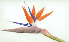 strelitzia reginae - Google Search