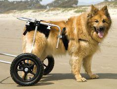 Cómo cuidar a un perro con displasia de cadera - http://www.mundoperros.es/como-cuidar-a-un-perro-con-displasia-de-cadera/