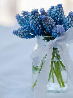 Muscari Hyacinth
