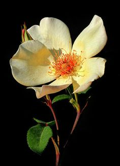 Five Petal Rose 1 von Dave Mills - Blumen Exotic Flowers, Yellow Flowers, Beautiful Flowers, Art Floral, Rose Foto, Floral Photography, Flower Pictures, Flower Wallpaper, Botanical Art