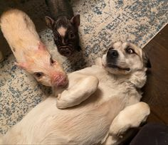 Pigs and dogs can be best of friends but they should never be left unsupervised. Miniature Pigs, Mini Pigs, Human Babies, Pet Pigs, Your Pet, Best Friends, Charmed, Pets, Mini Teacup Pigs
