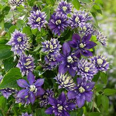 The Taiga Clematis from the Southern Living Plant Collection produces phenomenal double purple flowers with yellow-green tips. Clematis Care, Clematis Plants, Clematis Flower, Long Blooming Perennials, Hardy Perennials, Flowers Perennials, Perennials Fabric, New Vines, Purple Garden