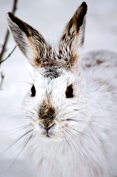 funkysafari:  Snowshoe Hare transitioning to his Spring coat, Shirley's Bay Conservation Area by dhackettcan