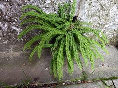 Asplenium trichomanes, Asplenio tricomane 7 giugno 2018 Cactus Plants, Garden, Garten, Cacti, Lawn And Garden, Cactus, Gardening, Outdoor, Gardens