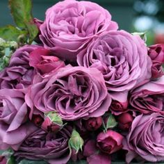 Plum Perfect™️ Numerous intensely plum-colored very double flowers are the characteristic of this rose. The foliage is a very healthy shiny medium green. The variety performs very well in heat and humidity. Strong black spot resistance. A rose that's dressed up for the party!