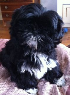 Shih Tzu Puppy Pinner says: looks just like Duke! *** Be sure to learn about your pet dogs from this link. #dogshirtssayings #shihtzu
