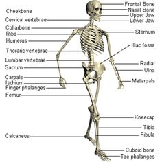 vocab of the muscular skeletal system. skeleton bones joints, Skeleton