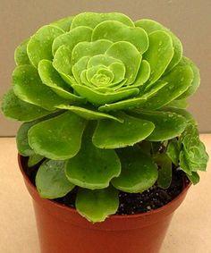 Acosta Plants Aeoniums - Aeonium 'Mint Saucer'