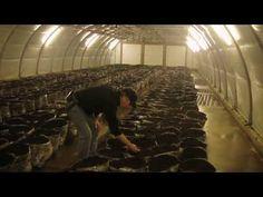 Mushroom Production Technology - 1st- part - YouTube