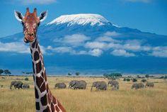 Masái Mara y Amboseli [Kenia]: Las terrazas del Kilimanjaro Mount Kilimanjaro, In And Out Movie, Out Of Africa, Tier Fotos, Tanzania, Science Nature, National Geographic, Pet Birds, Places To See