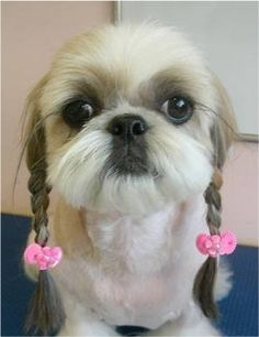 willie nelson's shihtzu? ha