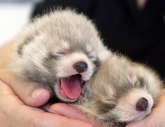 Baby red pandas (Edmonton Valley Zoo)