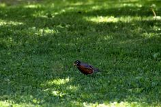 Spring has Sprung! Pretty Robin catching worms :-) Tammy Taylor-Kosiba's Photography 2013