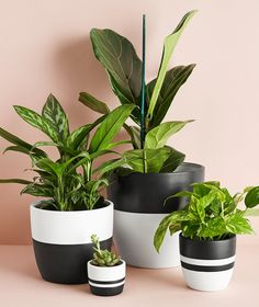 Medium Black Pot Ansel & Ivy modern black and white planters for indoor plants Ivy Plants, White Plants, Potted Plants, Pots For Plants, Indoor Flower Pots, Indoor Plant Pots, Large Plant Pots, Painted Plant Pots, Painted Flower Pots