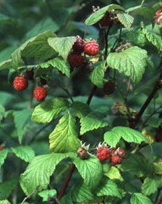 BRINGEBÆR - Rubus idaeus