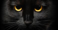Find Closeup Portrait Halloween Black Cat stock images in HD and millions of other royalty-free stock photos, illustrations and vectors in the Shutterstock collection. Animals And Pets, Cute Animals, Black Cat Appreciation Day, Kitten Care, Cat Facts, Halloween Cat, Happy Halloween, Samhain Halloween, Beautiful Cats