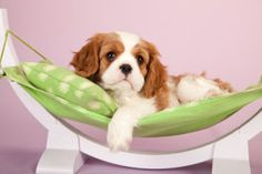 5 Common Australian Dog Breeds that Suffer from Genetic Health Problems: http://www.primepetinsurance.com.au/blog/5-common-australian-dog-breeds-that-suffer-from-genetic-health-problems/