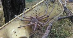Knapp 30 Zentimeter lang und für Spinnenphobiker ein absoluter Alptraum. Die Jäger-Spinne. Jetzt wurde das wohl größte Exemplar ihrer Art gesichtet. Aber wo lebt die Spinne und wie gefährlich ist sie für den Menschen?