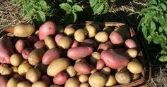Sorte krompira, jedne od najvažnijih namirnica