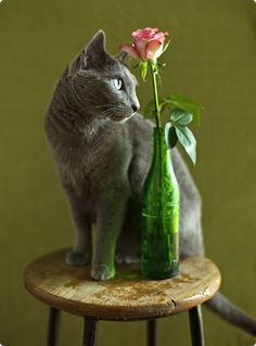 "Russian Blue Cats ""Cats have claws, Roses have thorns. Surely both are worth it. Blue Cats, Grey Cats, Neko, Japanese Cat, Cat Flowers, Russian Blue, Crazy Cat Lady, Beautiful Cats, Cat Life"