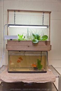 indoor aquaponics   Indoor aquaponics - aquaponic greenhouse