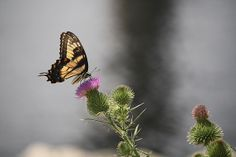 close up of a butterfly on a thistle
