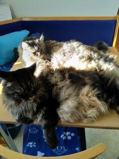 Die Maine Coon Katzen Spirit & Mystery genießen den Nachmittag Mystery, Maine Coon, Cats, Animals, Maine Coon Cats, World, Kunst, Gatos, Animais