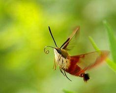 hummingbird moth ontario: hummingbird hawk moth