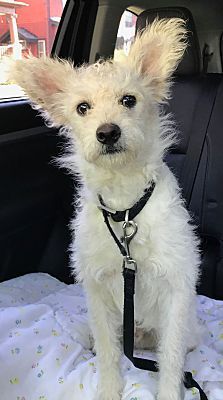 Youngstown Oh Poodle Miniature Meet Pete On Hold A Dog For