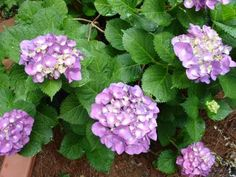 These beautiful, shade-loving shrubs also thrive in pots. Get planting and growing tips, plus find the best hydrangea varieties for pots with help from HGTV. Hydrangea Varieties, Hydrangea Seeds, Hydrangea Colors, Hydrangea Care, Hydrangeas, Hydrangea Plant, Hydrangea Types, Growing Hydrangea, Garden Shrubs