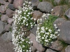 Steingarten pflanzen arabis caucasica-vertikale Begrünung