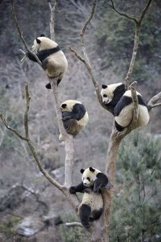 Five pandas chilling in the same tree.
